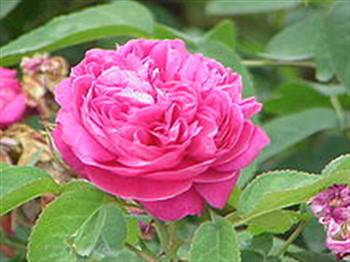گلاب و عرقیات قمصرکاشان