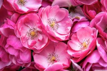 گلاب دو اتیشه کاشان
